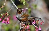 台灣野鳥:DSC_3763_43149.jpg