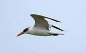 台灣野鳥:DSC_4192_43578.jpg