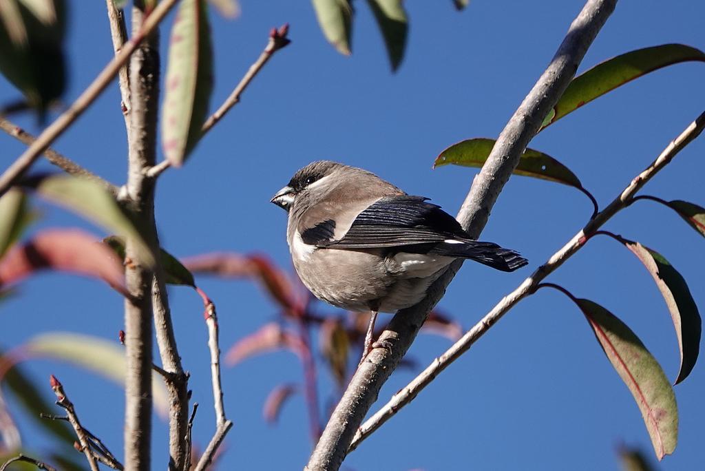台灣野鳥:DSC03993_45318.jpg