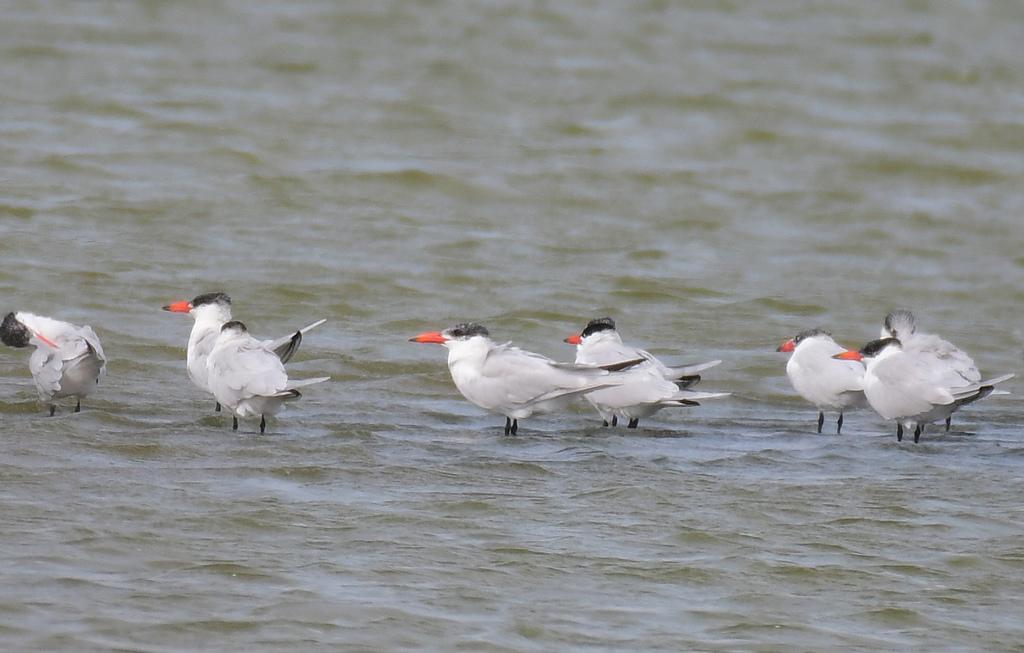 台灣野鳥:DSC_4893_44279.jpg