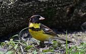 台灣野鳥:DSC_6258_47896.jpg
