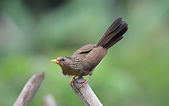 台灣野鳥:DSC_3531_65220.jpg