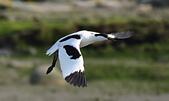 台灣野鳥:DSC_4907_46545.jpg