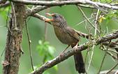 台灣野鳥:DSC_3614_65303.jpg