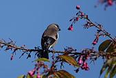 台灣野鳥:DSC04820_46072.jpg