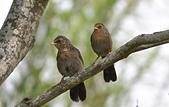 台灣野鳥:DSC_3352_65041.jpg