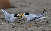 台灣野鳥:DSC_4139_65828.jpg