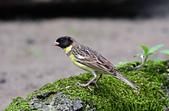 台灣野鳥:DSC_6287_47925.jpg
