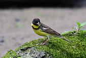 台灣野鳥:DSC_6302_47940.jpg