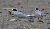 台灣野鳥:DSC_4196_65885.jpg