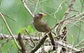 台灣野鳥:DSC_3569_65258.jpg