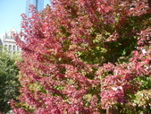 Chicago -Foliage - 紅色的千禧公園:P1080360.JPG