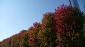 Chicago -Foliage - 紅色的千禧公園:P1080354.JPG
