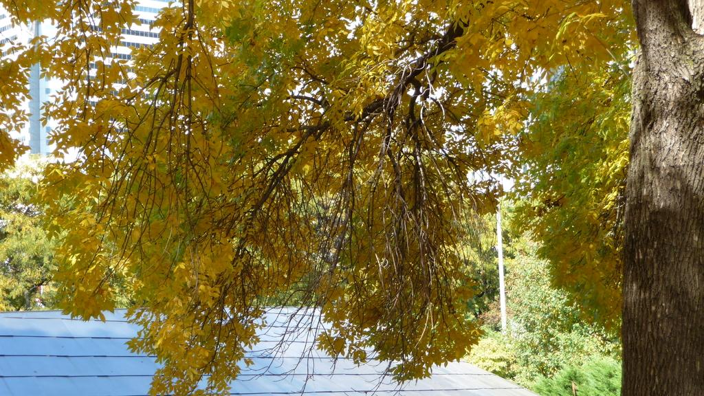 Chicago - Foliage - 黃色的千禧公園:P1080252.JPG