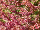 Chicago -Foliage - 紅色的千禧公園:P1080361.JPG