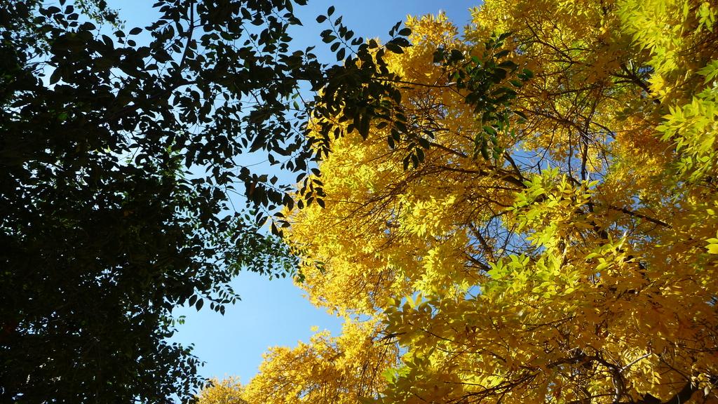 Chicago - Foliage - 黃色的千禧公園:P1080255.JPG