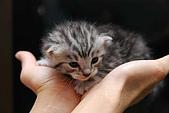 活力小宅貓:[活力新血♂] 銀白貓