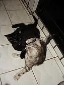 三個月的貓照:黑灰雙貓大戰