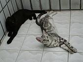 貓照:嚕嚕與檸檬~玩鬧在一起,感情很不錯