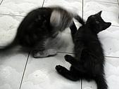 兩個月貓照:雙貓對戰