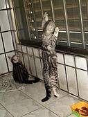 三個月的貓照:貓 拉拉拉~~長了!