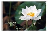 徵文相片:蓮花.jpg