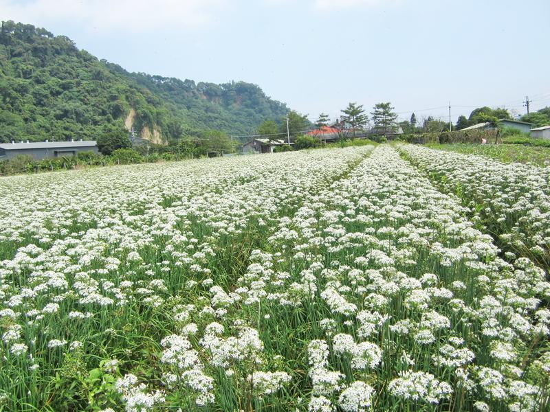 13-韭菜花.JPG - 三坑紅橋