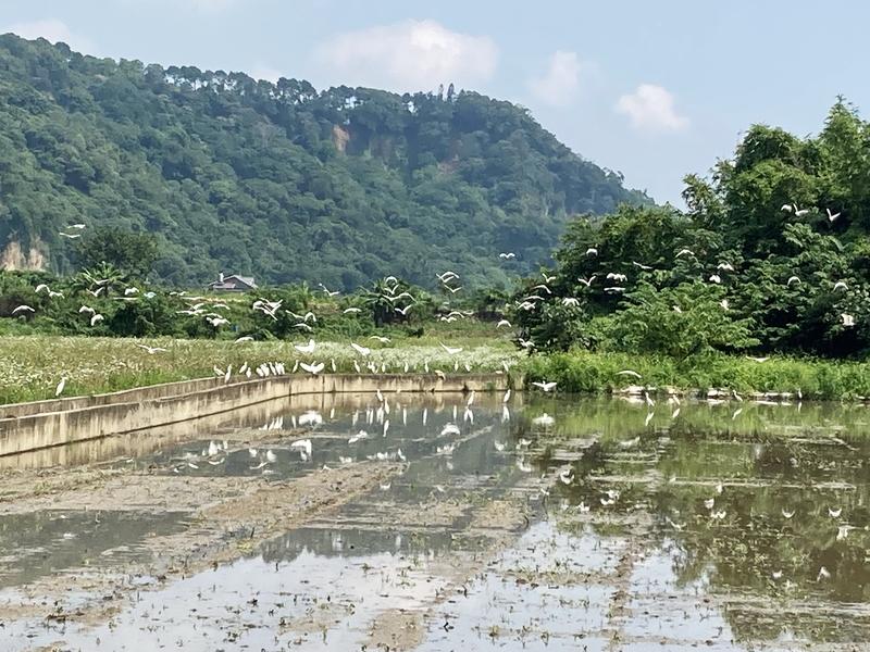 14-田中白鷺.JPG - 三坑紅橋