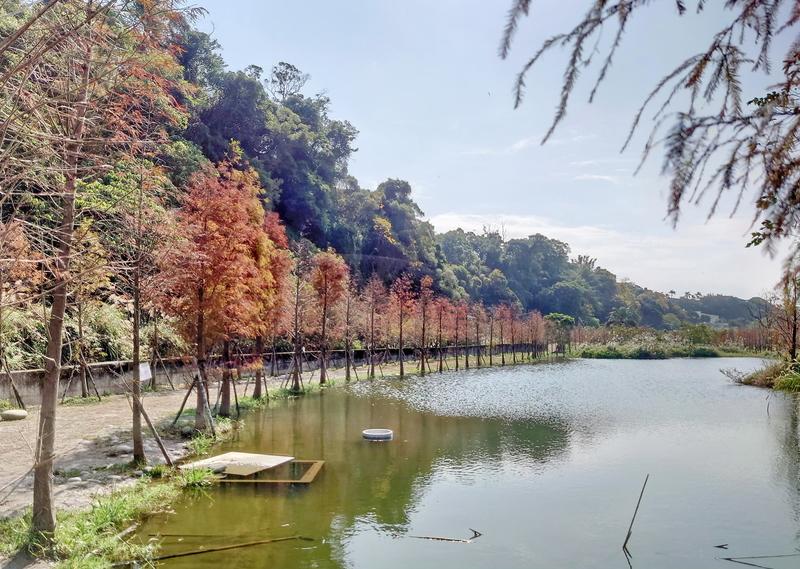 32-山豬湖落羽松.jpg - 石門水庫賞梅
