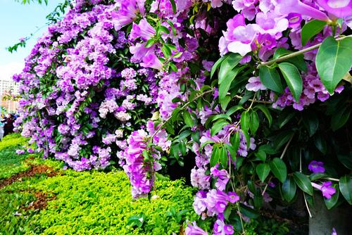 46_meitu_43.jpg - 👒十月。好。浪漫~紫色花瀑《蒜香藤》