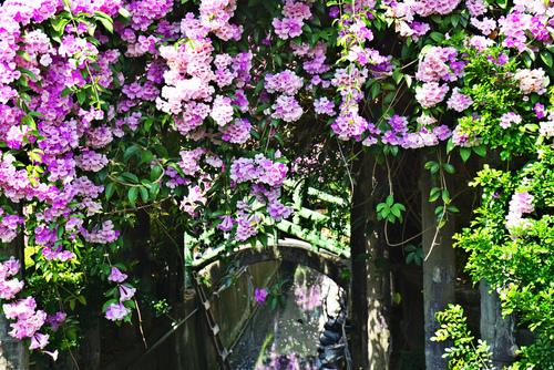 45_meitu_42.jpg - 👒十月。好。浪漫~紫色花瀑《蒜香藤》