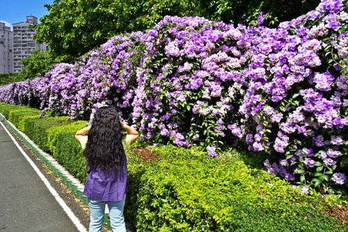 7 (2)_meitu_13.jpg - 👒十月。好。浪漫~紫色花瀑《蒜香藤》