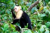 2010中美洲:巴拿馬(白臉猴真的比較可愛耶)