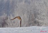 雪地拍鳥:DSC_1080.jpg