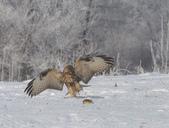 雪地拍鳥:DSC_1092.jpg