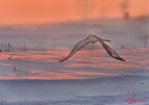 雪地拍鳥:DSC_2946.jpg
