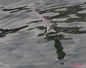 燕鷗:DSC_5871.jpg