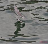 燕鷗:DSC_5891.jpg