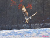 雪地拍鳥:DSC_9834.jpg