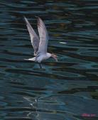 燕鷗:DSC_8755.jpg