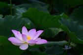 2018台北植物園的荷:DSC_0696.JPG
