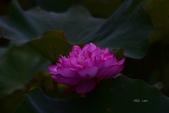 2018台北植物園的荷:DSC_0669.JPG