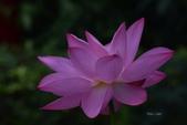 2018台北植物園的荷:DSC_0790.JPG