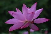 2018台北植物園的荷:DSC_0798.JPG