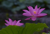 2018台北植物園的荷:DSC_0742.JPG