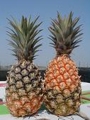 實用的資訊:甘蔗鳳梨斷心嚴重圖一.jpg
