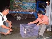 :保育人員野放被獵捕的伯勞鳥.JPG