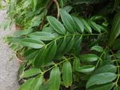 2015植物攝影11A:莎梨橄欖 (@台北建國花市) (5).JPG