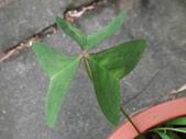 2015植物攝影11A:白花酢醬草(Oxalis triangularis ssp. papilionacea) (@台灣大學) (4).JPG