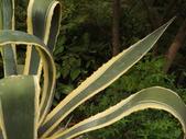 2015植物攝影11A:黃邊龍舌蘭(Agave americana 'Variegata') (@台北植物園) (4).JPG